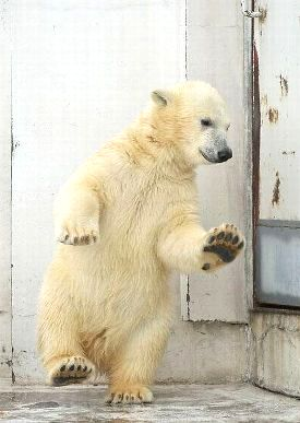 Copy_of_Funny-Mill-Funny-Polar-Bear-Collection-pic-2.jpg
